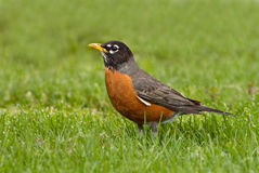 Robin americano in l'erba di primavera Fotografia Stock Libera da Diritti