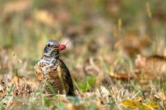 Robin americano, migratorius del Turdus fotografie stock libere da diritti