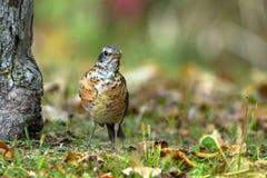 Robin americano, migratorius del Turdus immagine stock