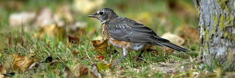 Robin americano, migratorius del Turdus immagini stock