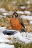 Robin americano (migratorius del Turdus) Immagini Stock