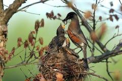 Robin americano, migratorius del Turdus fotografia stock libera da diritti