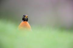 Robin americano (migratorius di migratorius del Turdus) Fotografie Stock