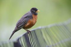 Robin americano (migratorius di migratorius del Turdus) Immagini Stock