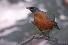 Robin americano (migratorius di migratorius del Turdus) Fotografia Stock Libera da Diritti