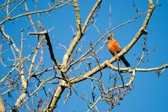 Robin americano si è appollaiato in albero Fotografia Stock Libera da Diritti