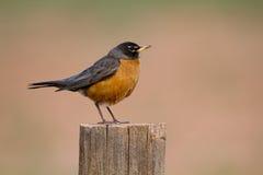 Robin americano, Turdus migratorious fotografie stock libere da diritti