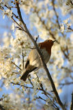 Robin amongst blossom. An Old World Robin, perched amongst fresh blossoms Stock Photo