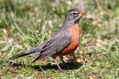 Robin américain (migratorius de Turdus) Images stock