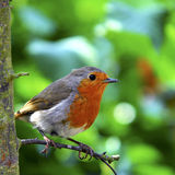 Robin anglais photo stock