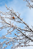 Robin around snow time. Robin sitting in a tree after a winter ice storm and snowfall Royalty Free Stock Photos