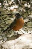 Robin au printemps Image libre de droits