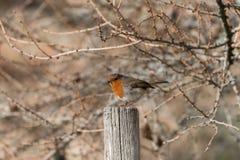 Robin auf Beitrag mit wildem Hintergrund vegitation Stockbild