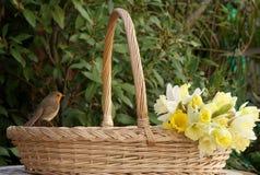 Robin auf Blumenkorb mit Narzissen Stockfotografie