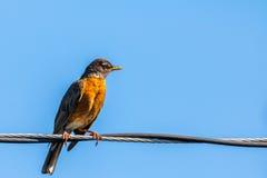 Robin auf einem Draht Stockbilder
