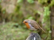 Robin auf einem Felsen Lizenzfreie Stockfotografie
