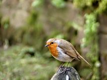 Robin auf einem Felsen Stockfoto