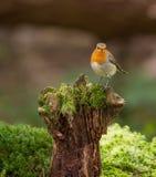 Robin auf einem Klotz lizenzfreie stockfotografie