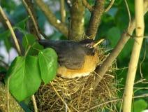 Robin auf einem Nest Stockbilder