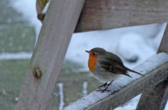 Robin auf einem Stuhl Stockfotografie