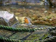 Robin auf einer Brücke Stockfoto