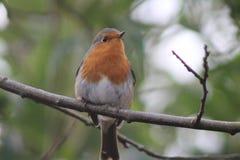 Robin auf einer Niederlassung Stockbild