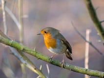 Robin auf einer Niederlassung im Winter lizenzfreies stockbild