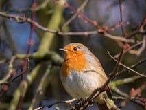 Robin auf einer Niederlassung im Winter stockbilder