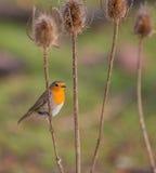 Robin auf einer trockenen Distelanlage Stockbild
