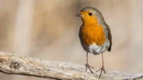 Robin auf hölzernem Klotz lizenzfreie stockbilder