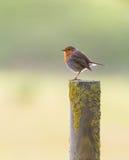 Robin auf Pfosten lizenzfreie stockfotos