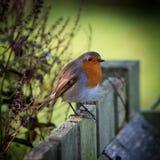 Robin auf Zaun Stockfoto
