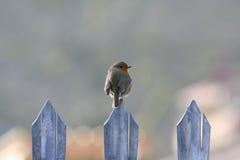 Robin auf Zaun stockbild