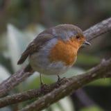 Robin-Aufstellung stockfotografie