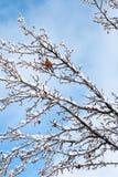 Robin autour de temps de neige photos libres de droits