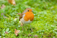 Robin on Autumn Grass Stock Photo