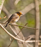 A Robin in the autumn sun Royalty Free Stock Image