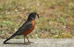 Robin avec le ver photographie stock