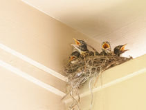Robin Babies. Four baby robins in a nest with their mouths open Stock Photography