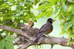 Spring baby birds. Mother Robin bird with baby birds in nest on a limb Royalty Free Stock Photography