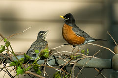 Robin and baby fledgling Royalty Free Stock Image