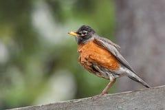 Robin bagnato Fotografie Stock