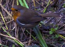Robin at Bashley Lakes Ringwood. Robin Redbreast in the grass at Bashley Lakes Ringwood Stock Photo
