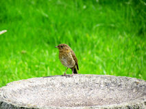Robin On Bath. Image of a Robin Bird standing on a Bird Bath in the sunny and dry spring season Royalty Free Stock Image