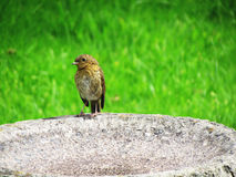Robin On Bath. Image of a Robin Bird standing on a Bird Bath in the sunny and dry spring season Royalty Free Stock Photography