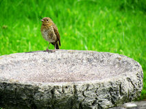 Robin On Bath. Image of a Robin Bird standing on a Bird Bath in the sunny and dry spring season Stock Photo