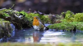 Robin bathed in the forest pool