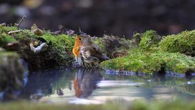 Robin bathed in a pool of forest stock footage
