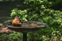 Robin bathing in the birdbath stock images