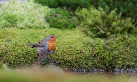 Robin bathing at a pool Royalty Free Stock Photography
